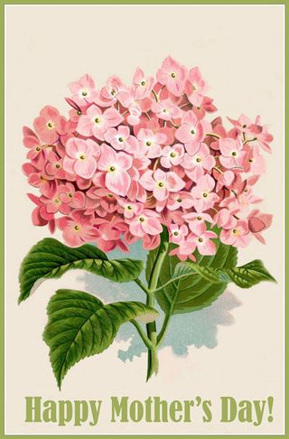 Hydrangea-pink-mothersday-t